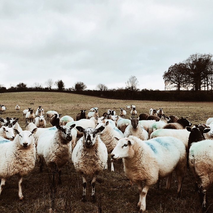 Sheep in Herefordshire, United Kingdom.