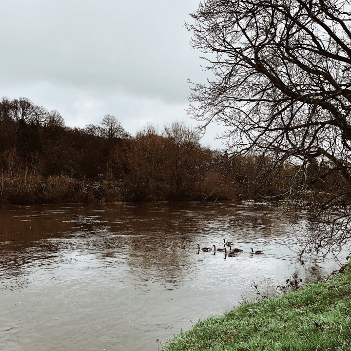 Geese on the River Severn near Bewdley, Worcestershire, United Kingdom.