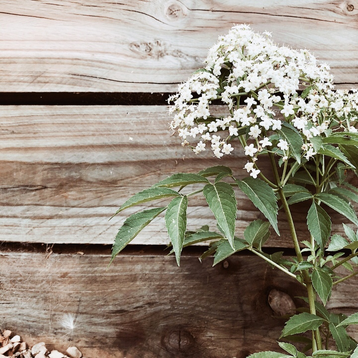 Elderflower plant in bloom against a timber retaining wall.