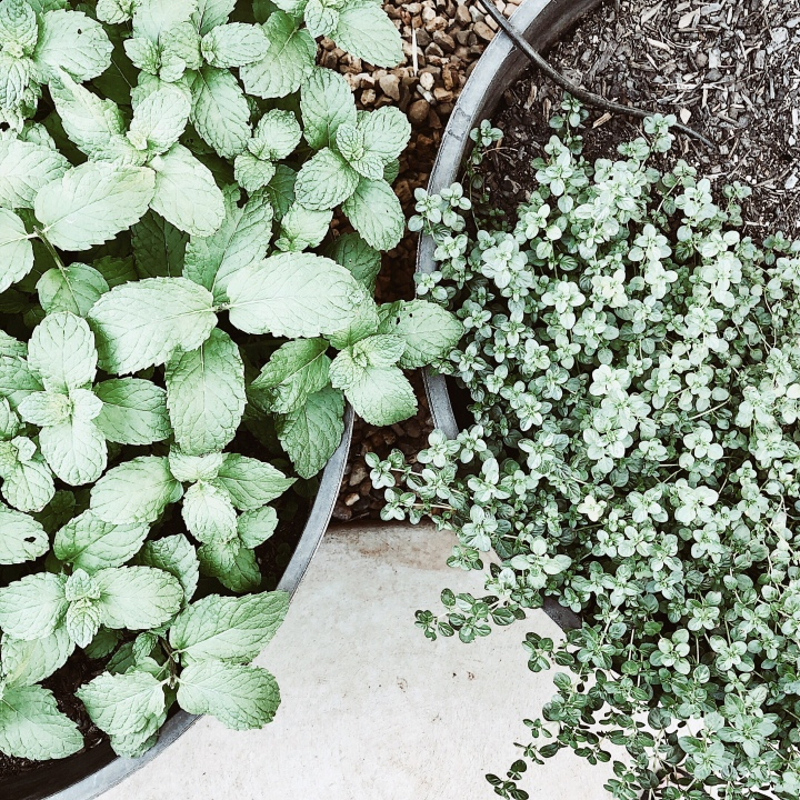 Looking down on mint and thyme plants.