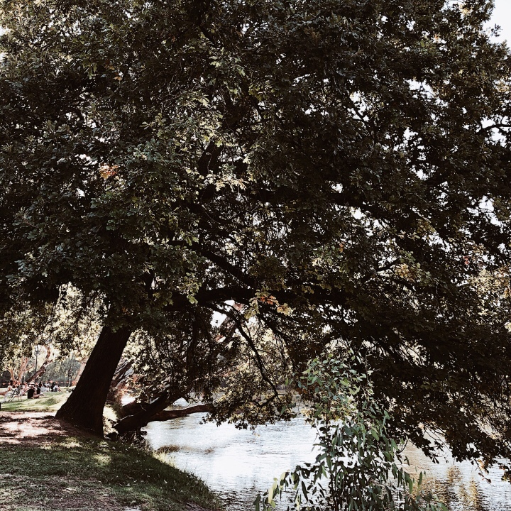 An oak tree by the Murray River in Albury, New South Wales Australia.