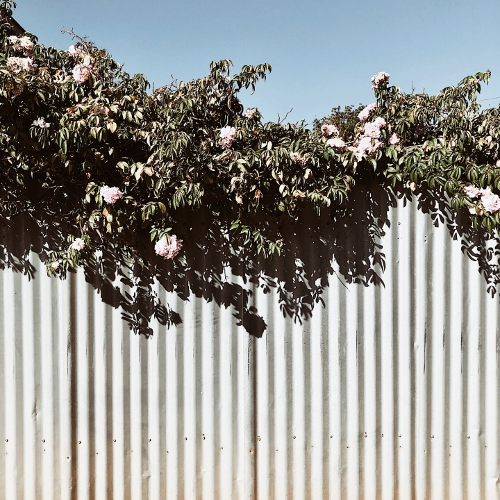 Flowering bush set against a blue sky and tin fence.