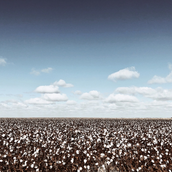 A cotton crop at Carrathool, New South Wales, Australia.