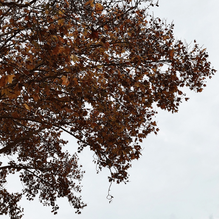 Autumnal leaves on a tree against a grey sky.