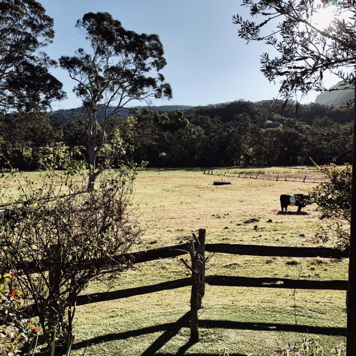 Cow in paddock grazing in Kangaroo Valley, New South Wales, Australia.