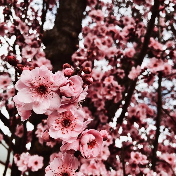 Pink blossom.