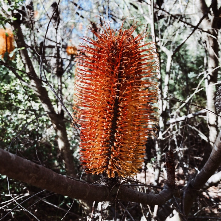 Banksia flower, Morton National Park, New South Wales, Australia.