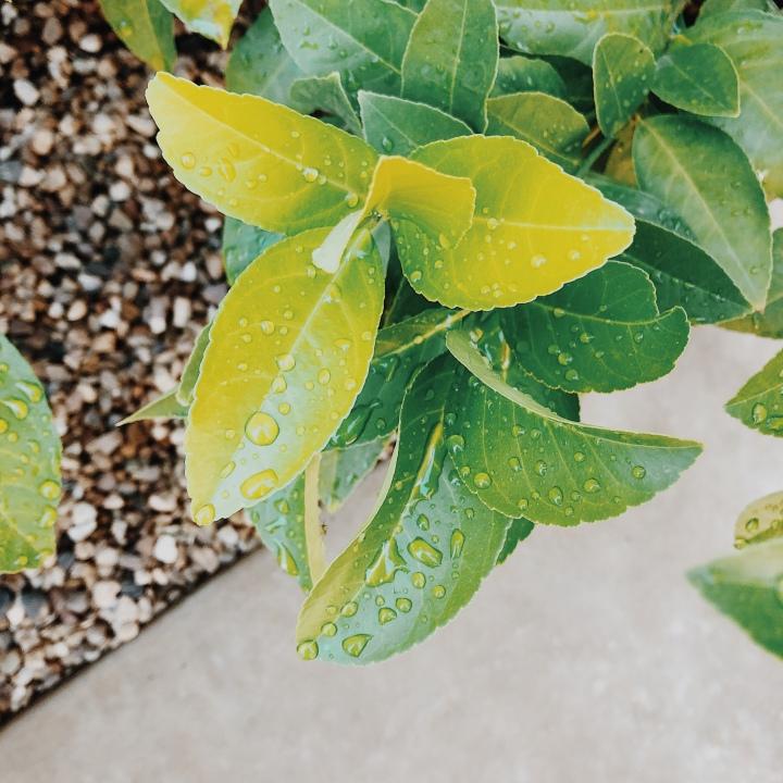Raindrops on an orange tree's leaves.
