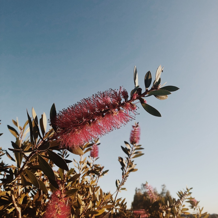 Bottlebrush bush in bloom against a late afternoon blue sky..