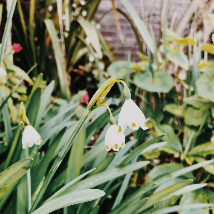 Snowdrops in a garden.