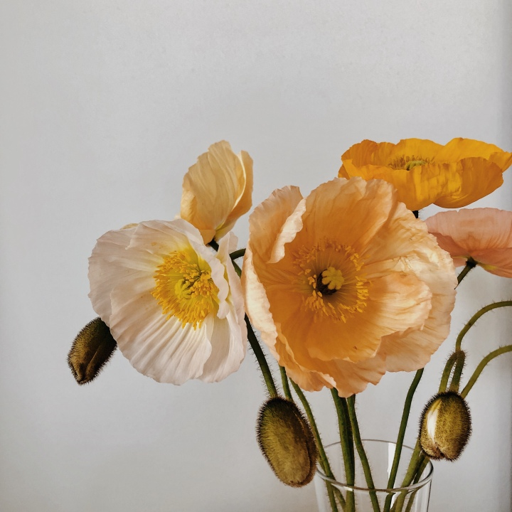 White, peach, yellow and pink poppies in bloom.