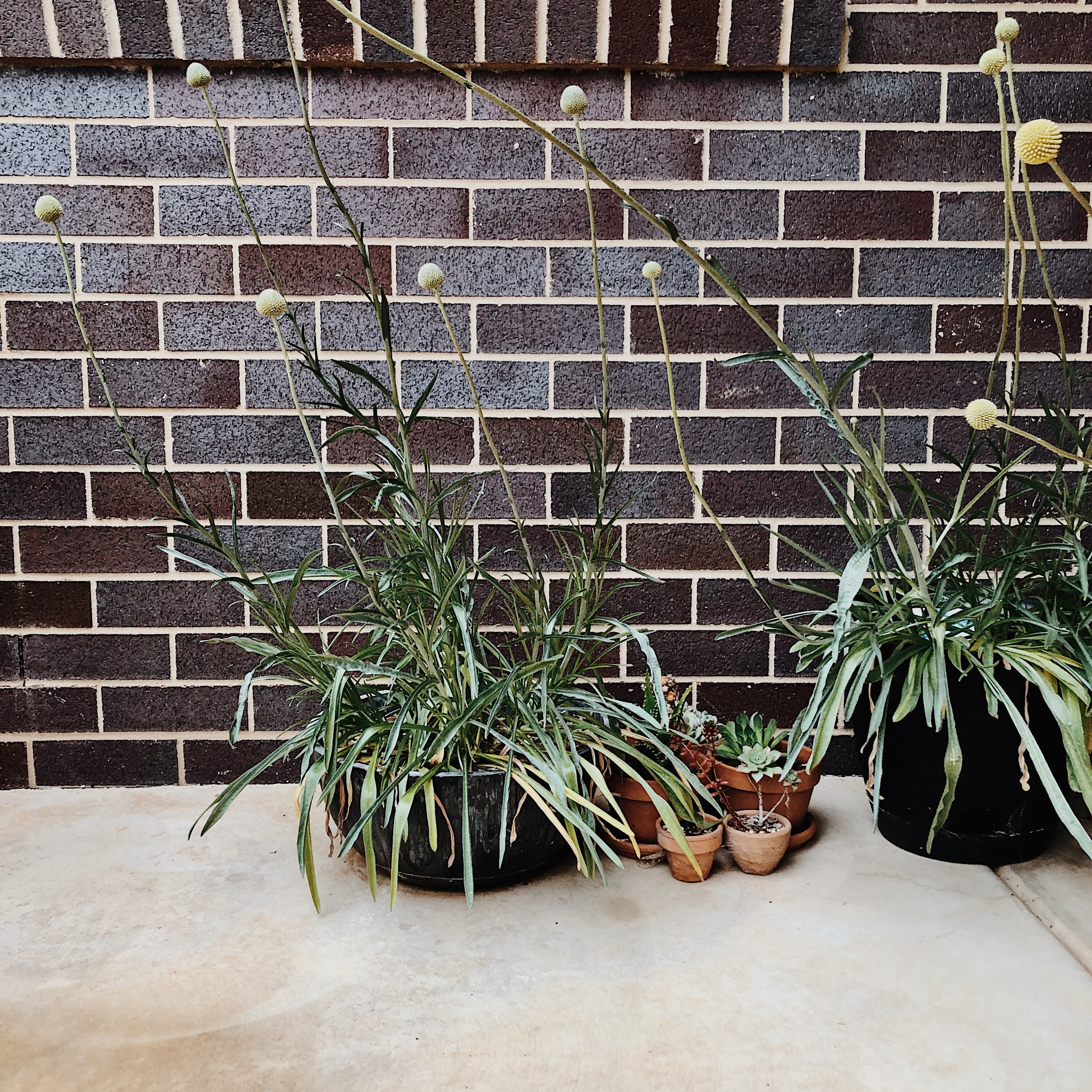 Billy button plants in pots against a dark brick wall.