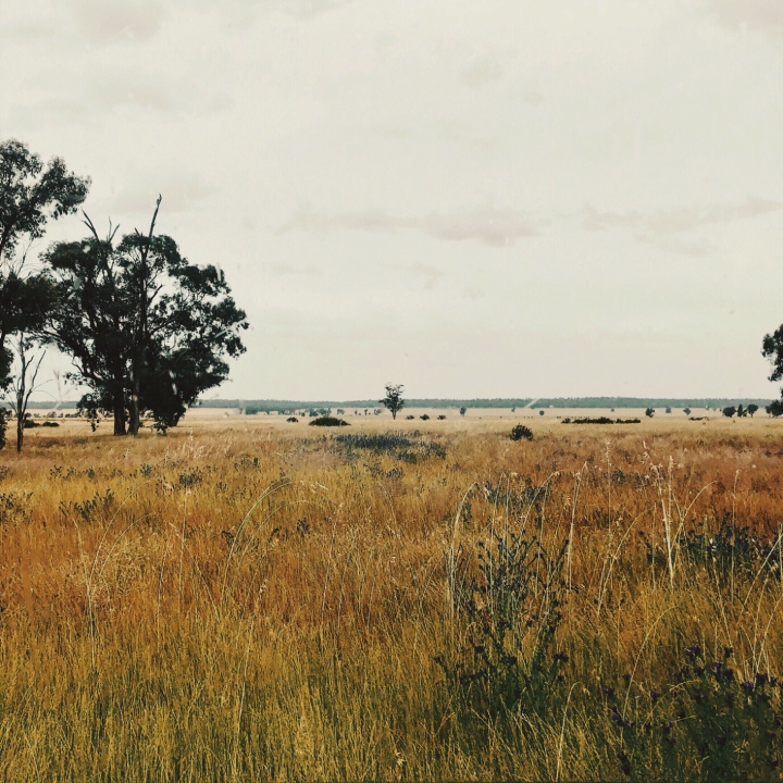 Looking over grassy, grazing land in the Riverina region of New South Wales, Australia.