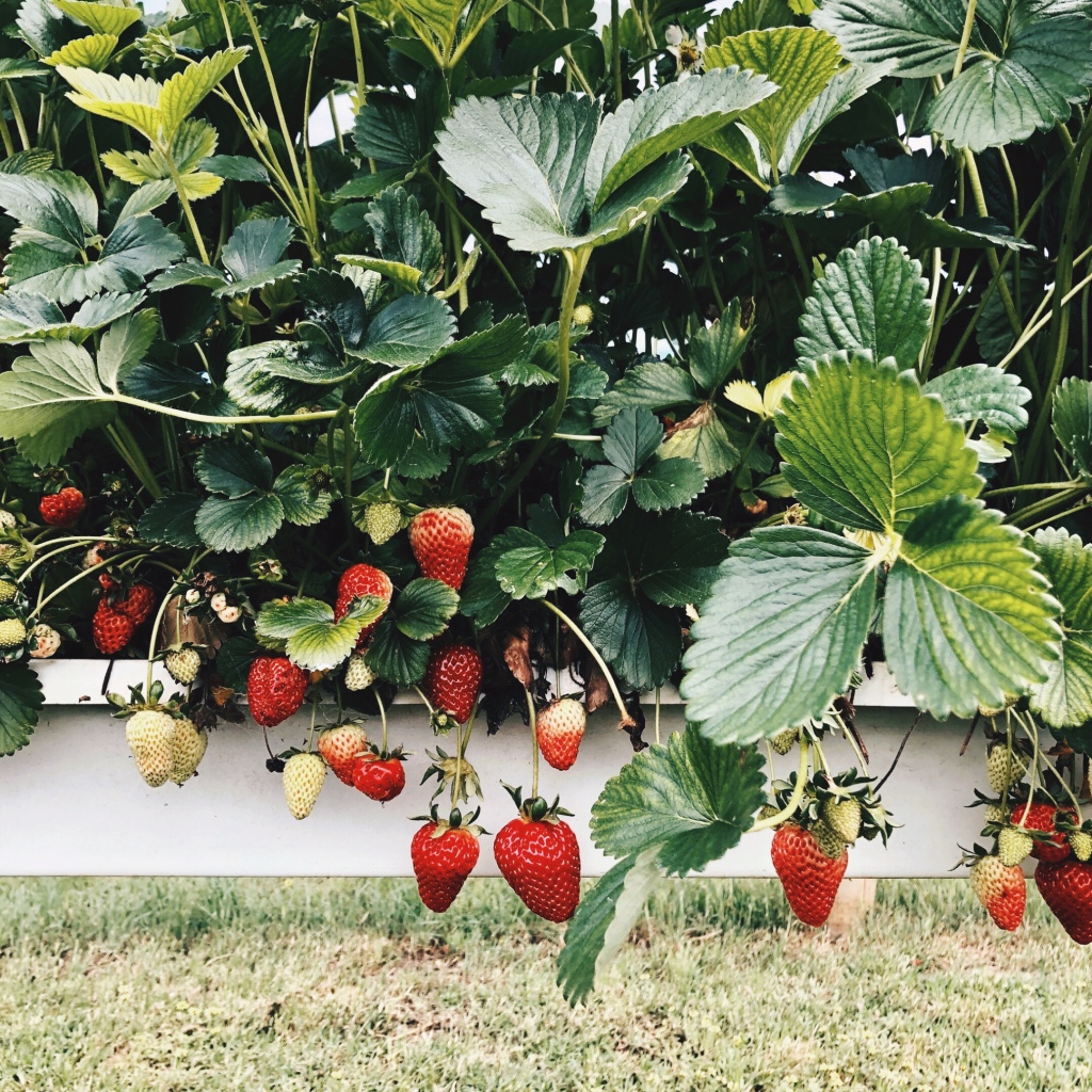 Hydroponically grown strawberry plants laden with fruit.