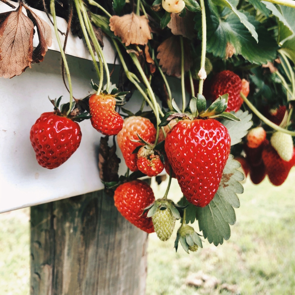Strawberry plants laden with fruit.