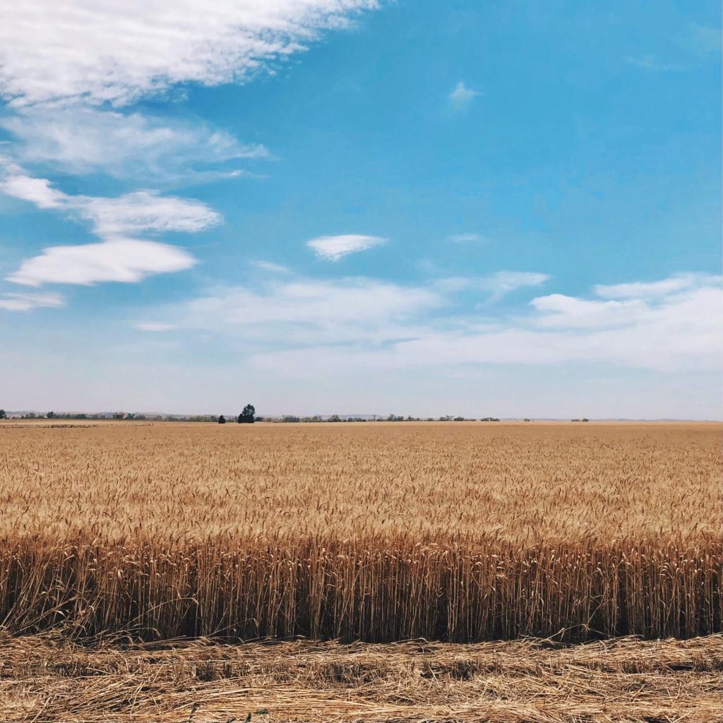 A paddock of barley ready to harvest near Wagga Wagga, New South Wales, Australia.