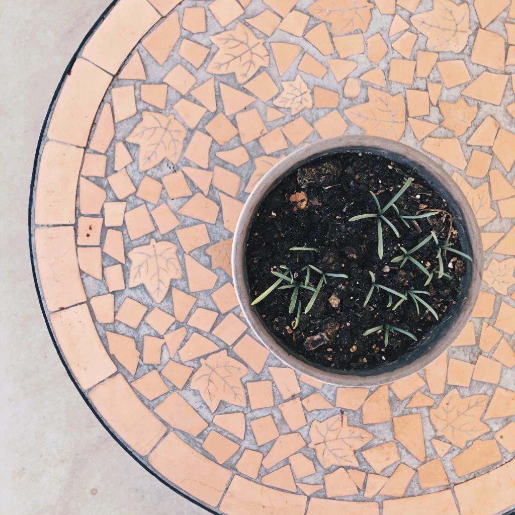 Muscari bulbs poke through the soil in a pot, placed on a terracotta garden table.