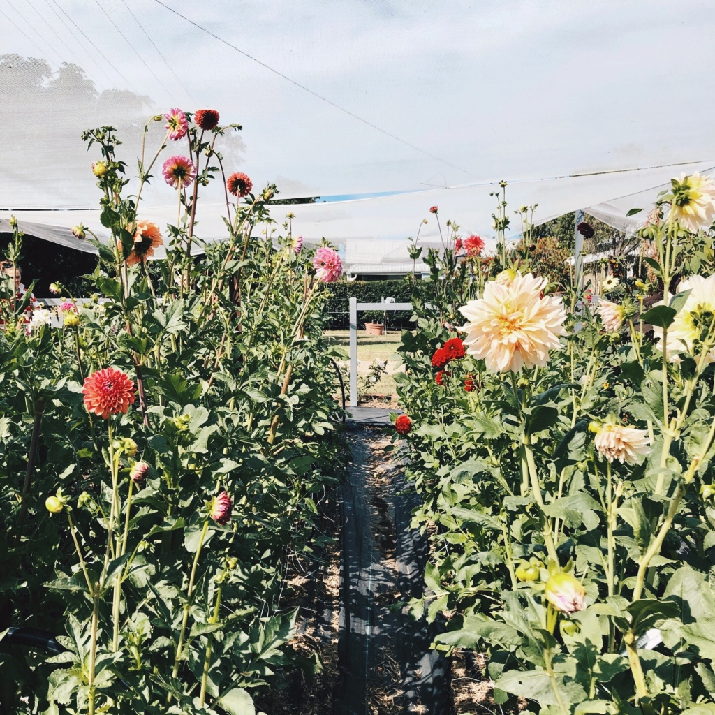 Rows of dahlias at Little Triffids Flowers in North Wagga, New South Wales, Australia.