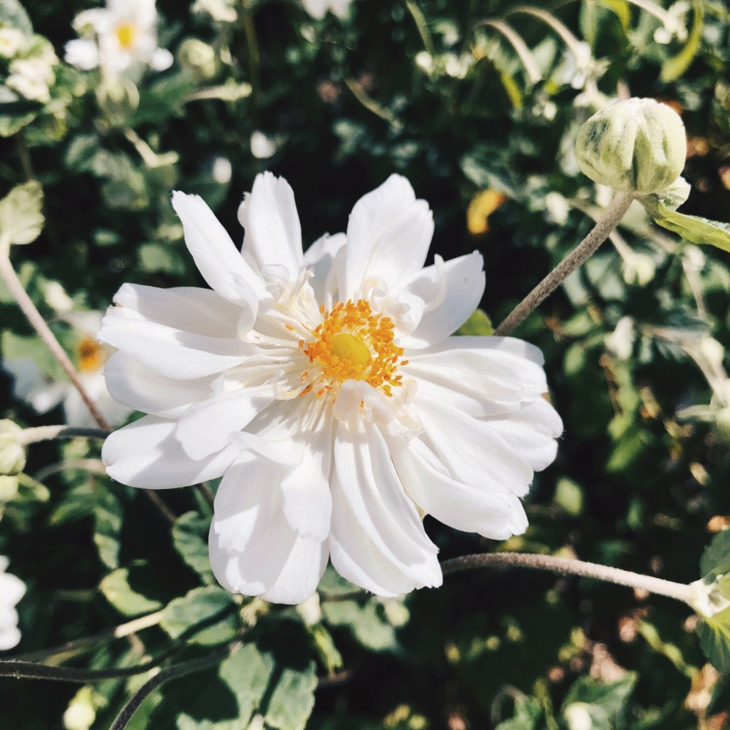 White anemone in flower at Little Triffids Flowers in North Wagga, New South Wales, Australia.