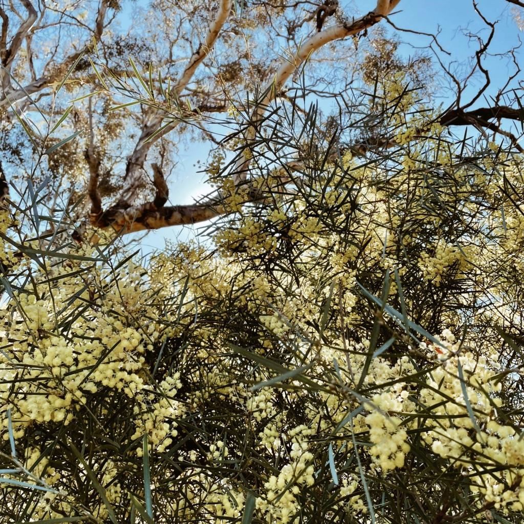 Looking through flowering wattle up to an old gum tree and blue morning sky.