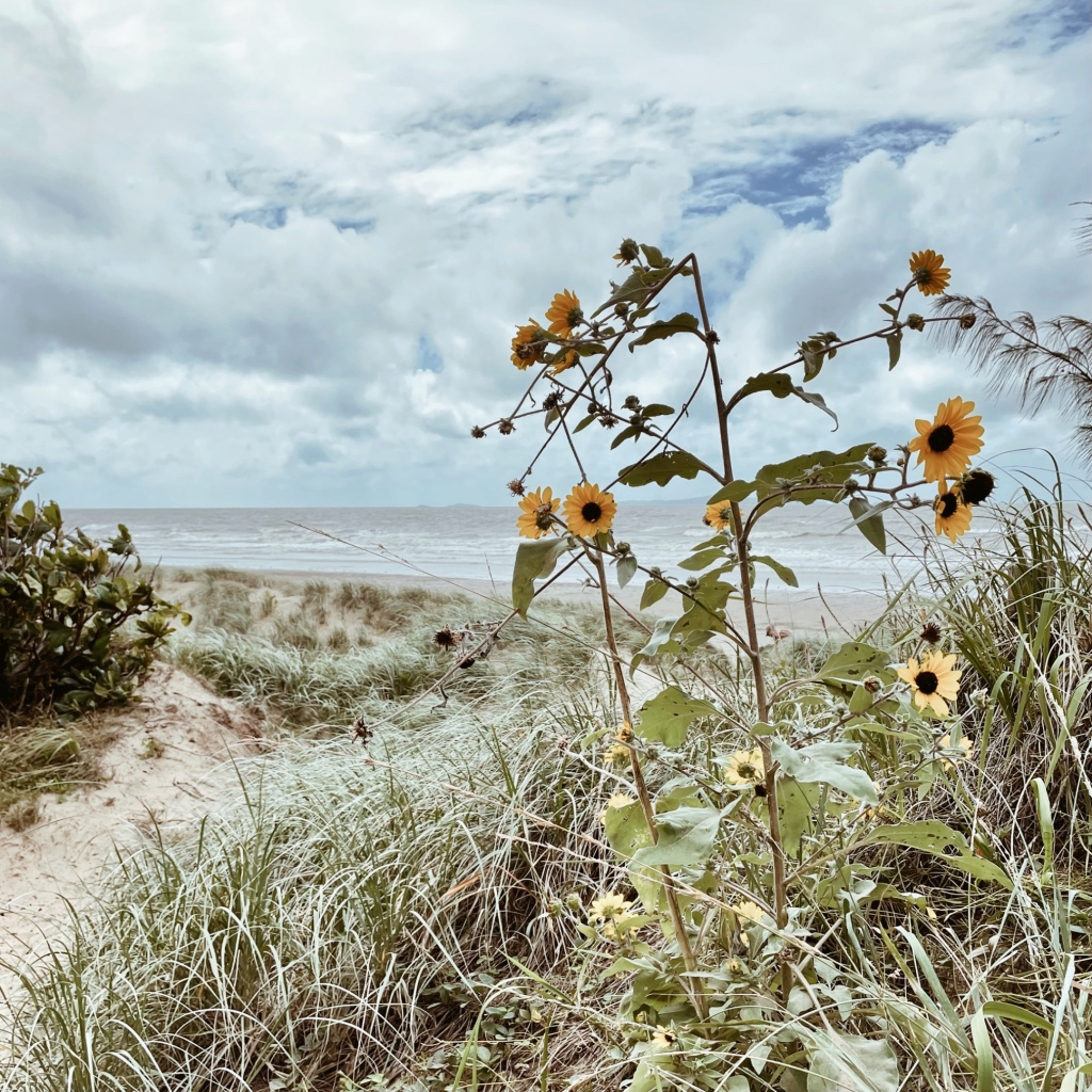 Sunflowers growing alongside an access track at Farnborough Beach, Yeppoon, Queensland, Australia.