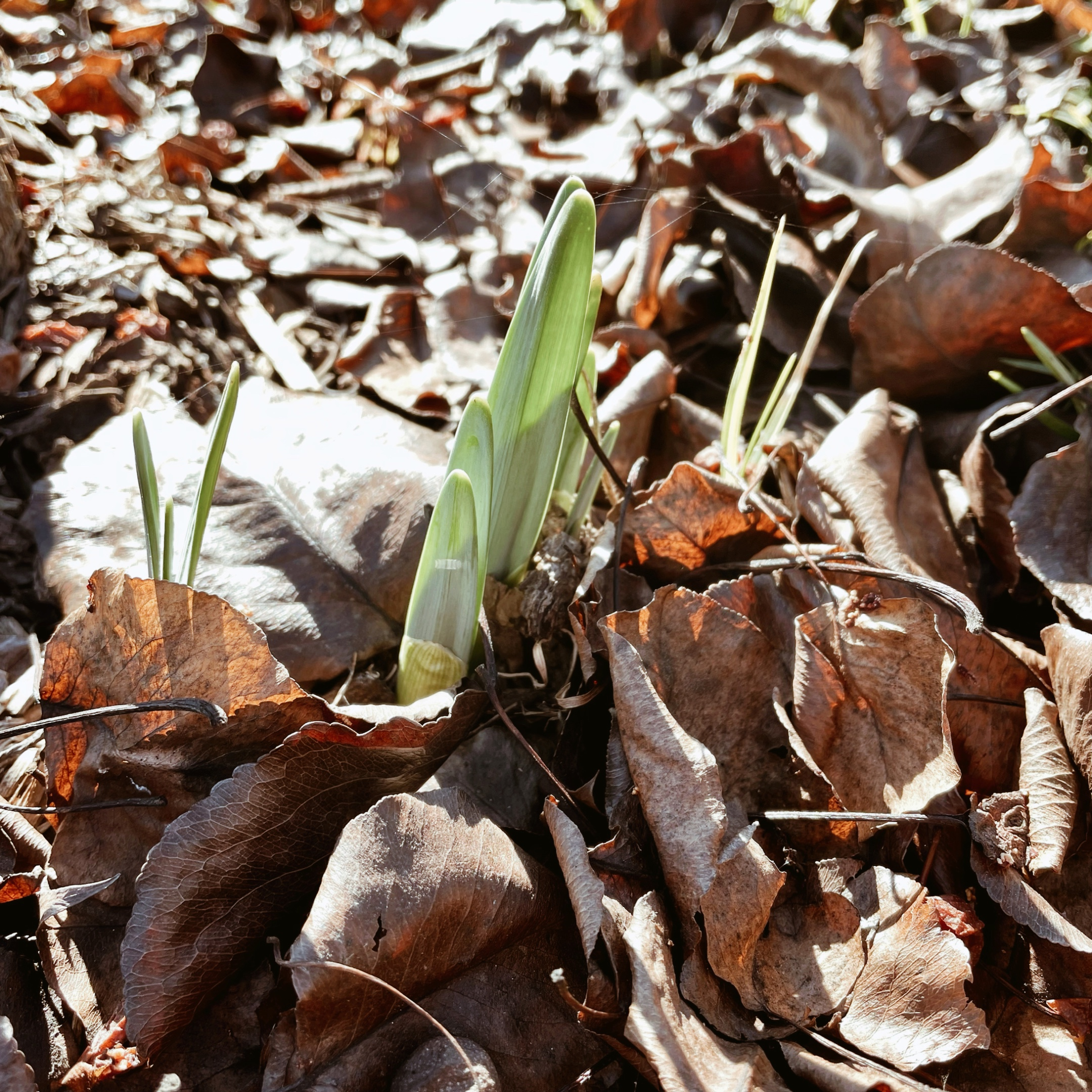 Daffodil stems poking up thrown brown autumnal leaves.