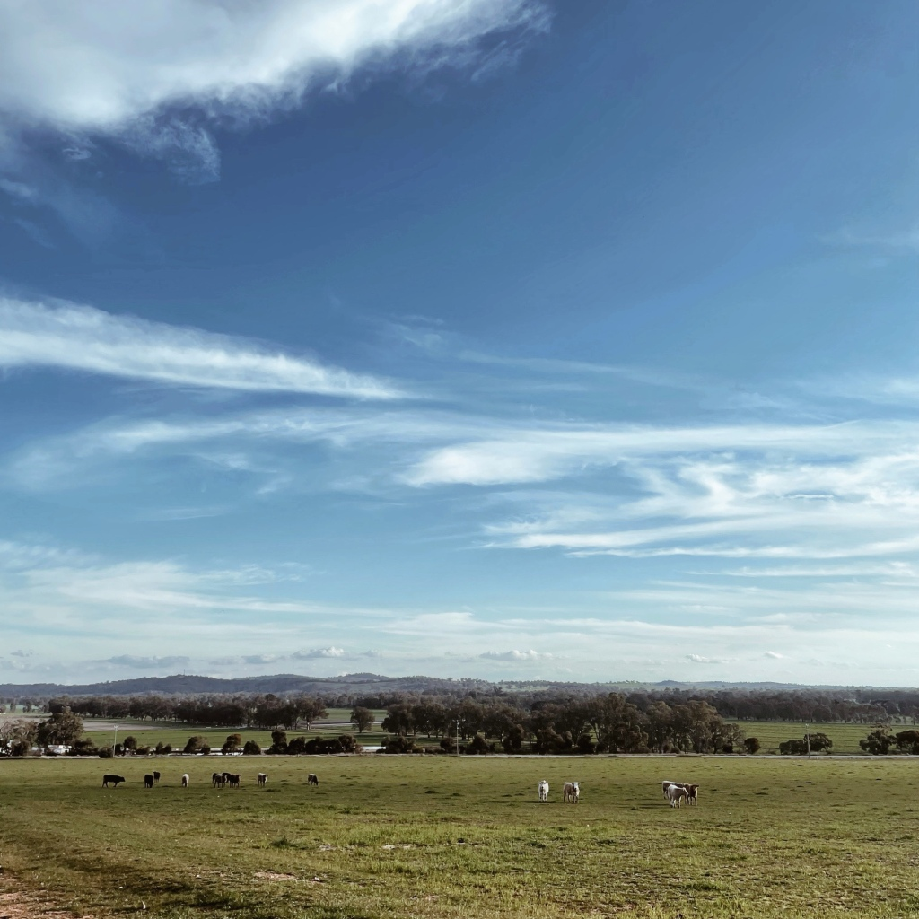 Cows grazing in a lush green paddock. Hills are in the distance and the sky is blue and filled with white clouds.