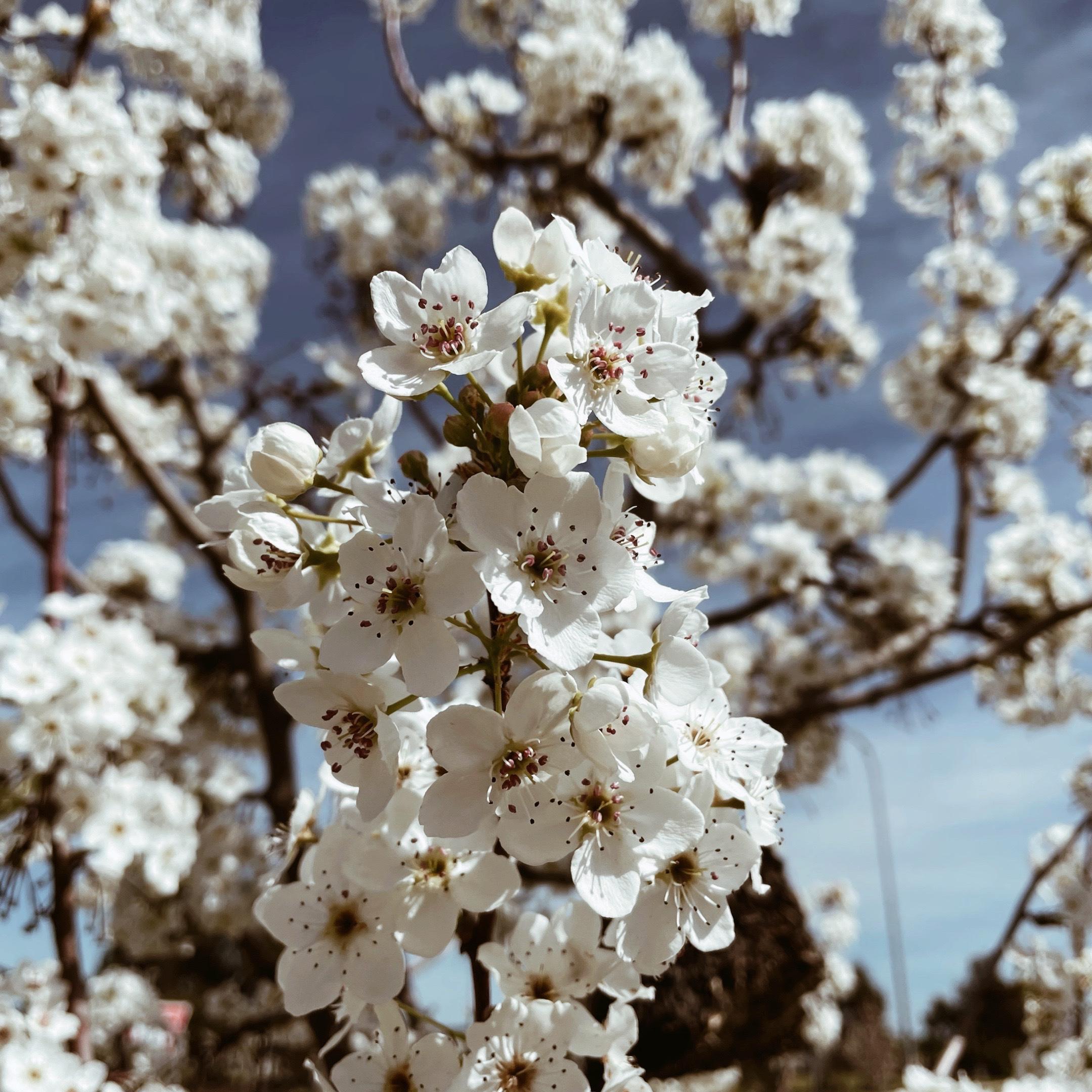 White spring blossom on a tree.